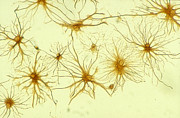 Neuron Prints - Neurons  Print by Dan  Cojo