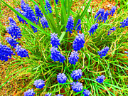 Grape Hyacinths Posters - New Bloom Hyacinths Poster by Tina M Wenger