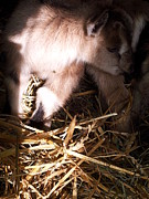 Nickolas Kossup - New Born Baby Goat