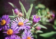 Black Background Mixed Media - New England Aster 2 by Todd and candice Dailey