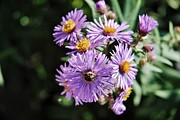 Aster  Mixed Media - New England Aster 4 by Todd and candice Dailey