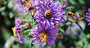 Aster  Mixed Media - New England Aster 5 by Todd and candice Dailey
