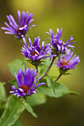 Aster Prints - New England Aster Print by Christina Rollo