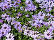 Clifton Keller - New England Aster
