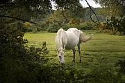 White Unicorn Photos - New Forest Pony by Angel  Tarantella