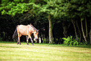 Grazing Horse Posters - New Forest pony Poster by Jane Rix
