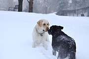 Labrador Photos - New Friends - A Meeting In The Park by Shane Laing