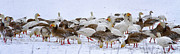 New Melle Prints - New Melle Snow Geese Print by Linda Tiepelman