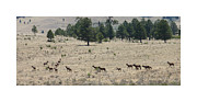 Wild Life Photos - New Mexico Elk Herd by Jack Pumphrey
