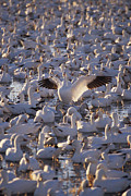 Snow Goose Prints - New Mexico Flocks Of Snow Geese Print by Anonymous