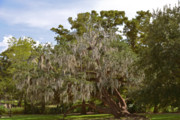 New Orleans Spanish Moss Print by Christine Till