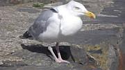 John Williams - New Quay Gull 1