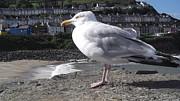 John Williams - New Quay Gull 2