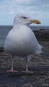 John Williams - New Quay Gull