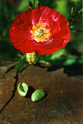 Robert Lozen Metal Prints - New Red Poppy Metal Print by Robert Lozen