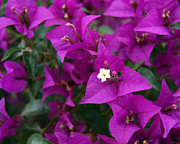 Bracts Prints - New River Bougainvillea Print by Rona Black
