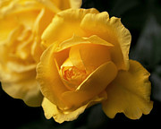 Rose Metal Prints - New Yellow Rose Metal Print by Rona Black