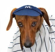 Doggy Framed Prints - New York Yankee Hotdog Framed Print by Susan Candelario
