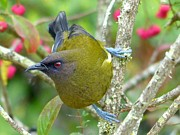 Unique Gift Ideas Photo Posters - New Zealand Bellbird Poster by Andrea Lightfoot