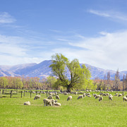 Farmland Art - New Zealand Farmland with Sheep by Colin and Linda McKie