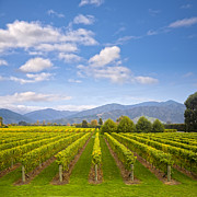 In A Row Art - New Zealand Marlborough Vineyard in Early Autumn by Colin and Linda McKie