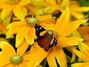 Unique Gift Ideas Photo Posters - New Zealand Yellow Admiral Butterfly Poster by Andrea Lightfoot
