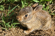 Nature Photos Photos - Newborn Eastern Cottontail by Neal  Eslinger