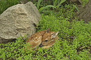 Fawn Photos - Newborn Fawn 4501 by Michael Peychich