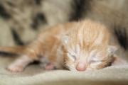 Liam Liberty - Newborn Kitten Photograph