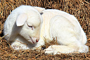 Kirk Posters - Newborn Lamb Poster by Leslie Kirk