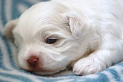 Lisa  DiFruscio - Newborn Puppy