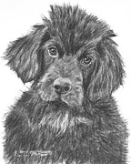 Akc Drawings Framed Prints - Newfoundland Puppy Sketch Framed Print by Kate Sumners