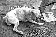 French Bulldog Prints Prints - Newsworthy Dog in French Quarter Black and White Print by Kathleen K Parker