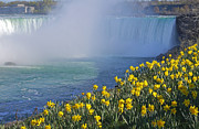 Niagara Falls Daffodils Print by Charline Xia