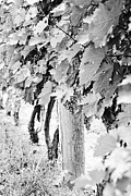 Scott Pellegrin - Niagara Grapes No.2