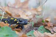 Fire Salamander Photos - Nice Fire Salamander by Jivko Nakev
