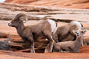Big Horn Sheep Photos - Nice Pooper by Adam Jewell