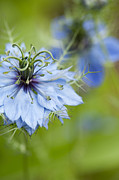 Featured Art - Nigella damascena  by Tim Gainey