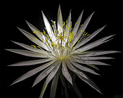 Gerald Grow - Night-Blooming Cereus 1