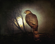 Red-tailed Hawk Prints Posters - Night Hawk Poster by Amy Tyler