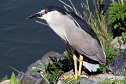 Diane Rada - Night Heron Bird