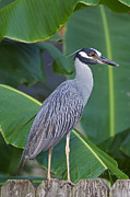 Night Heron Print by Cheri Randolph