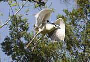 TJ Baccari - Night Heron in Flight