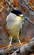 Irina Hays - Night Heron