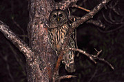 Owl Greeting Card Prints - Night Owl Print by Al Powell Photography USA