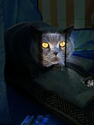 British Shorthair Art - Night Prowler by Shirley Sirois