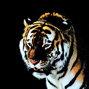 Detroit Tigers Art Photos - Night tiger by John Freidenberg