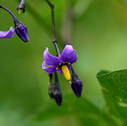 Solanum Dulcamara Photos - Nightshade by Neal  Eslinger