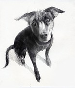 Cute Dogs Drawings Framed Prints - Nina Drawing Beautiful Dog Framed Print by Neal Cormier