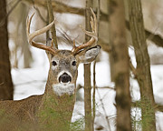 Nine Point White Tailed Buck Print by John Vose